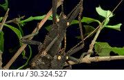 Купить «Insects mating of Golden-Eyed Stick Insect (Peruphasma schultei) on black background. Macro video.», видеоролик № 30324527, снято 8 августа 2018 г. (c) Некрасов Андрей / Фотобанк Лори