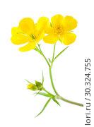 Купить «flora of Gran Canaria - Ranunculus cortusifolius», фото № 30324755, снято 15 марта 2019 г. (c) Tamara Kulikova / Фотобанк Лори