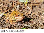 Купить «Земноводная бесхвостая жаба (лат. Bufonidae) или просто жаба ярким солнечным осенним днём. Подмосковье, Россия.», фото № 30326239, снято 22 сентября 2017 г. (c) Устенко Владимир Александрович / Фотобанк Лори
