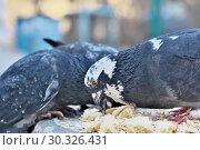 Купить «Wild city pigeons on a winter day», фото № 30326431, снято 17 февраля 2019 г. (c) Владимир Белобаба / Фотобанк Лори