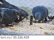 Купить «Wild city pigeons on a winter day», фото № 30326439, снято 17 февраля 2019 г. (c) Владимир Белобаба / Фотобанк Лори