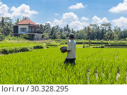 Купить «Male farmer working in beautiful rice terrace plantation near Ubud,Bali, Indonesia, south east Asia», фото № 30328295, снято 23 февраля 2019 г. (c) Matej Kastelic / Фотобанк Лори