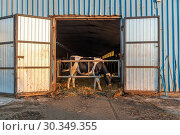 Купить «Holstein cow sticks it head through gated doorway of barn, Broniewo, Kuyavian-Pomeranian Voivodeship, Poland.», фото № 30349355, снято 27 июля 2018 г. (c) age Fotostock / Фотобанк Лори