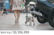 Купить «Curious west highland white terrier having a city walk with the owner», видеоролик № 30356959, снято 25 июня 2019 г. (c) Данил Руденко / Фотобанк Лори