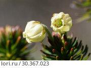 Купить «Красивые цветки можжевельника сибирского», фото № 30367023, снято 28 сентября 2018 г. (c) А. А. Пирагис / Фотобанк Лори