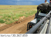 Купить «African safari. Serengeti. Tanzania», фото № 30367859, снято 22 января 2008 г. (c) Знаменский Олег / Фотобанк Лори
