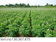 Купить «Летний сельский пейзаж с цветущим картофельным полем», эксклюзивное фото № 30367875, снято 14 июля 2018 г. (c) Елена Коромыслова / Фотобанк Лори
