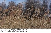 Купить «Камыш на ветру крупным планом солнечным мартовским днем», видеоролик № 30372315, снято 2 марта 2019 г. (c) Виктор Карасев / Фотобанк Лори