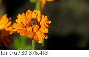 Купить «Bee on a orange marigold», видеоролик № 30376463, снято 8 марта 2019 г. (c) Игорь Жоров / Фотобанк Лори