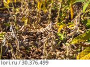 Купить «Соевые бобы», фото № 30376499, снято 23 августа 2016 г. (c) Ольга Сейфутдинова / Фотобанк Лори