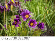 Купить «Bright purple flowers of Pulsatilla or pasqueflower on  background of green grass», фото № 30385987, снято 11 мая 2015 г. (c) Юлия Бабкина / Фотобанк Лори