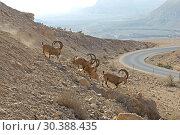 Купить «Nubian ibex (Capra nubiana sinaitica) near road in Negev desert of southern Israel», фото № 30388435, снято 4 августа 2018 г. (c) Валерия Попова / Фотобанк Лори