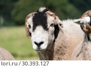 Close up on face of Swaledale ram with cut horns. Стоковое фото, фотограф Farm Images \ UIG / age Fotostock / Фотобанк Лори