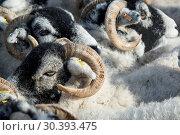 Swaledale sheep in pens. Стоковое фото, фотограф Farm Images \ UIG / age Fotostock / Фотобанк Лори