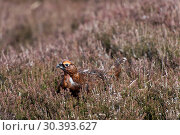 Red grouse. Стоковое фото, фотограф Farm Images \ UIG / age Fotostock / Фотобанк Лори