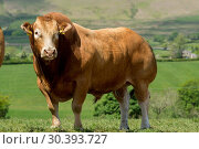 Limousin bull in pasture with herd of pedigree cattle. Стоковое фото, фотограф Farm Images \ UIG / age Fotostock / Фотобанк Лори