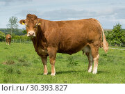 Limousin cattle out in pasture. Стоковое фото, фотограф Farm Images \ UIG / age Fotostock / Фотобанк Лори