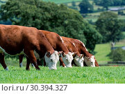 Herd of Hereford beef cattle in the English landscape. Стоковое фото, фотограф Farm Images \ UIG / age Fotostock / Фотобанк Лори