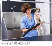Купить «Woman drying dog with hairdryer», фото № 30425327, снято 27 августа 2018 г. (c) Яков Филимонов / Фотобанк Лори