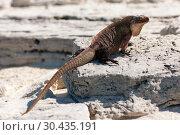 Купить «exuma island iguana in the bahamas», фото № 30435191, снято 14 февраля 2013 г. (c) Syda Productions / Фотобанк Лори
