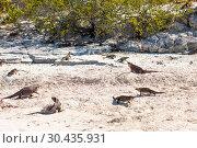 Купить «exuma island iguanas in the bahamas», фото № 30435931, снято 14 февраля 2013 г. (c) Syda Productions / Фотобанк Лори
