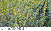 Купить «Image of field of sunflowers at sunny day, top view of landscape», видеоролик № 30443211, снято 25 августа 2018 г. (c) Яков Филимонов / Фотобанк Лори