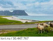 Купить «Summer Haukland beach and sheep flock, Norway, Lofoten», фото № 30447767, снято 11 июля 2013 г. (c) Юрий Брыкайло / Фотобанк Лори