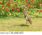 Купить «Индийская желтая цапля на берегу. Indian Pond Heron — Ardeola grayii», фото № 30448007, снято 17 марта 2019 г. (c) Овчинникова Ирина / Фотобанк Лори