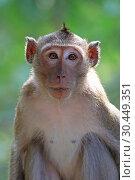 Купить «Макак-крабоед (лат. Macaca fascicularis) или яванский макак. Портрет обезьяны в Таиланде», фото № 30449351, снято 21 марта 2019 г. (c) Григорий Писоцкий / Фотобанк Лори