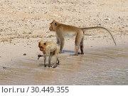 Купить «Макак-крабоед (лат. Macaca fascicularis) или яванский макак. Животные на берегу моря в Таиланде», фото № 30449355, снято 19 марта 2019 г. (c) Григорий Писоцкий / Фотобанк Лори