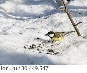 Купить «Большая синица ест семечки на снегу. Зимний прикорм птиц», фото № 30449547, снято 31 марта 2019 г. (c) Наталья Осипова / Фотобанк Лори