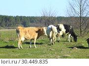 Cows on the farm pasture. Стоковое фото, фотограф Александр Птах / Фотобанк Лори