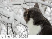 Серый кот смотрит на снег в окно: вид сзади Gray cat looks at the snow out the window: rear view. Стоковое фото, фотограф Светлана Федорова / Фотобанк Лори