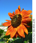 Sunflower on the blue sky background. Стоковое фото, фотограф Александр Птах / Фотобанк Лори