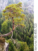 Views of the national park Saxon Switzerland of Bastei. A lone pine tree hanging on a cliff. Germany (2014 год). Стоковое фото, фотограф Наталья Волкова / Фотобанк Лори