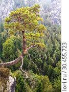 Купить «Views of the national park Saxon Switzerland of Bastei. A lone pine tree hanging on a cliff. Germany», фото № 30455723, снято 8 сентября 2014 г. (c) Наталья Волкова / Фотобанк Лори