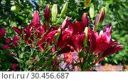 Купить «flowerbed fragment with a varieties of lilies», видеоролик № 30456687, снято 14 июля 2018 г. (c) Володина Ольга / Фотобанк Лори