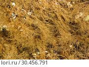 Dilophus fasciola or Dictyota fasciola is a brown alga. This photo was taken in Cap Ras coast, Girona province, Catalonia, Spain. Стоковое фото, фотограф J M Barres / age Fotostock / Фотобанк Лори