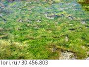 Enteromorpha intestinalis or Ulva intestinalis is a green alga. This photo was taken in Cabo de Gata, Almeria province, Andalucia, Spain. Стоковое фото, фотограф J M Barres / age Fotostock / Фотобанк Лори