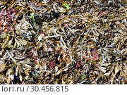 Serrated wrack (Fucus serratus) is a brown alga native to Atlantic Ocean. This photo was taken in Brittany coast, France. Стоковое фото, фотограф J M Barres / age Fotostock / Фотобанк Лори
