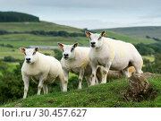 Beltex ewes on upland pasture. Стоковое фото, фотограф Farm Images \ UIG / age Fotostock / Фотобанк Лори