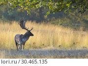 Fallow deer in autumn (Cervus dama), Germany, Europe. Стоковое фото, фотограф Michael Breuer / age Fotostock / Фотобанк Лори
