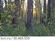 Купить «Understory overgrown with ivy (Hedera helix), Eure-et-Loir department, Centre-Val de Loire region, France, Europe.», фото № 30469559, снято 17 апреля 2018 г. (c) age Fotostock / Фотобанк Лори