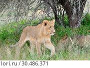 Купить «Young lion in the Kalahari», фото № 30486371, снято 17 марта 2011 г. (c) easy Fotostock / Фотобанк Лори