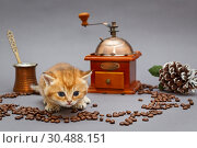 Купить «Red British kitten and coffee», фото № 30488151, снято 18 декабря 2018 г. (c) Okssi / Фотобанк Лори