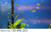 Купить «Many aquariums with exotic fish and plants for sale in pet shop», видеоролик № 30496263, снято 26 марта 2019 г. (c) Яков Филимонов / Фотобанк Лори