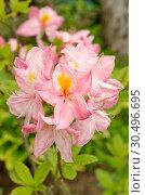 Купить «Рододендрон японский (лат. Rhododendron japonicum) цветет в саду», фото № 30496695, снято 11 июня 2018 г. (c) Елена Коромыслова / Фотобанк Лори
