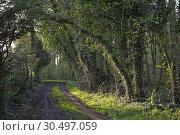 Купить «Understory overgrown with ivy (Hedera helix), Eure-et-Loir department, Centre-Val de Loire region, France, Europe.», фото № 30497059, снято 16 апреля 2018 г. (c) age Fotostock / Фотобанк Лори
