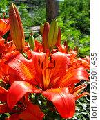 Beautiful red lily. Стоковое фото, фотограф Александр Птах / Фотобанк Лори