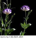 Купить «Eustoma flowers on a black background», фото № 30501451, снято 15 июля 2013 г. (c) Наталья Двухимённая / Фотобанк Лори